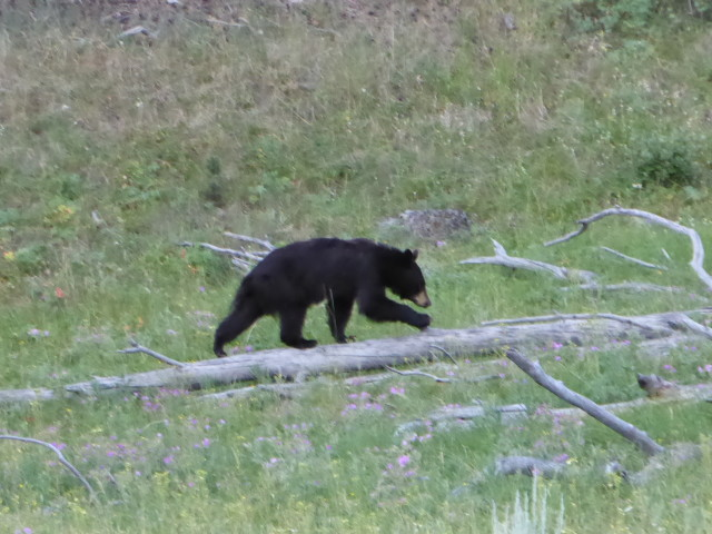 Our first black bear
